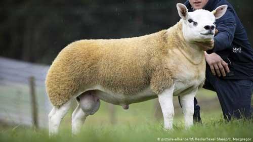 گران ترین گوسفند دنیا به فروش رسید