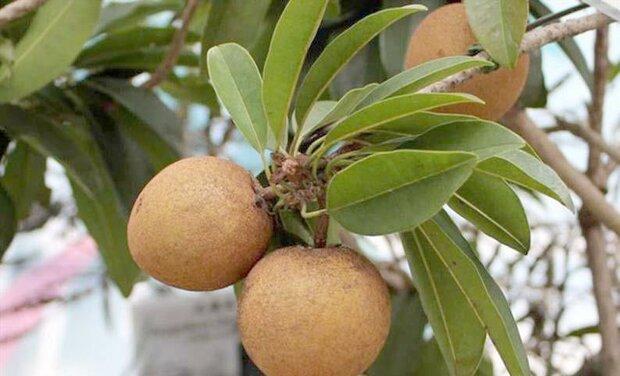 آخرین یافته های علمی در مورد خواص و اثرات میوه چیکو